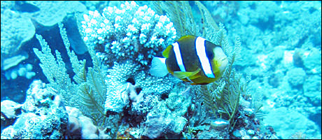 awww.in2life.gr_dm_pictures_barrier_reef_anemofish460x200_58049_M4642K.jpg
