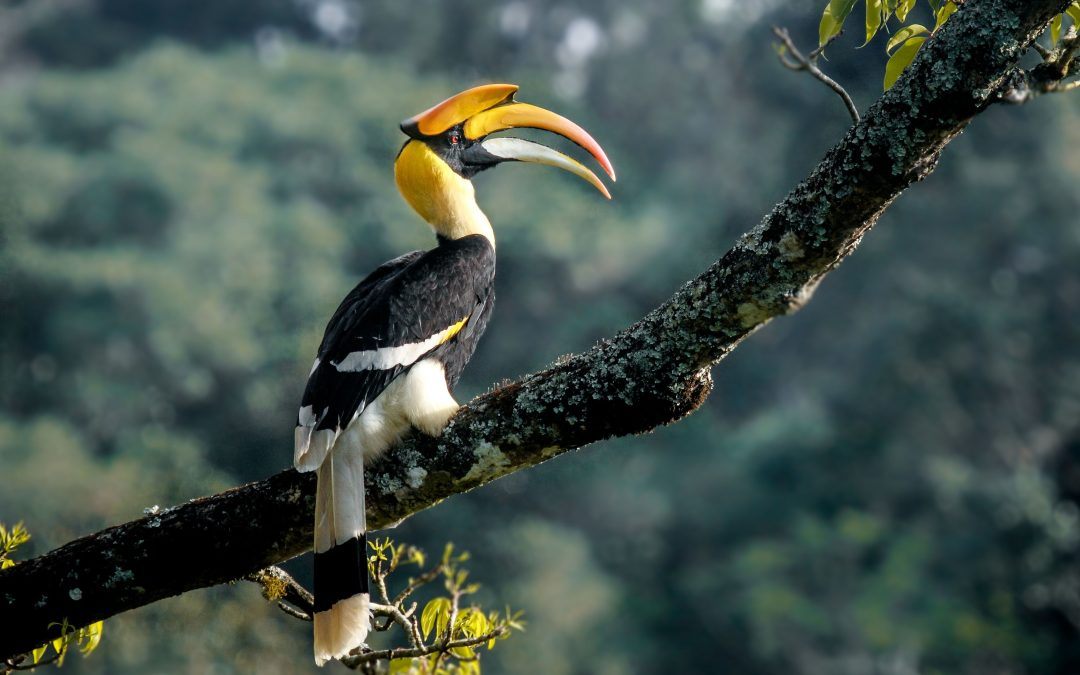 Great-Indian-Hornbill-1080x675.jpg