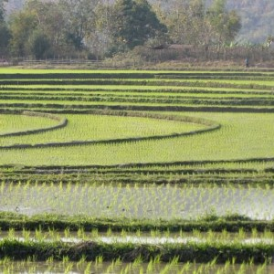 ricefields-laos